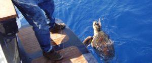 Punta Campanella, salvate altre 6 tartarughe negli ultimi giorni