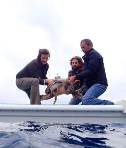 Una fase della liberazione delle Caretta caretta a Marina del Cantone