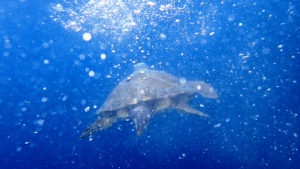 Caretta caretta nel mare di Punta Campanella