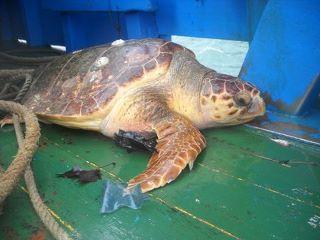 Tartaruga in attesa di essere liberata a Nerano