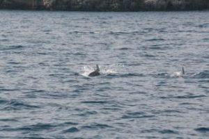 Branco di delfini avvistato a marina di Puolo