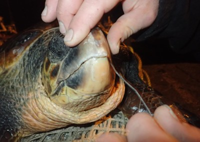 tartaruga-con-amo-febbraio