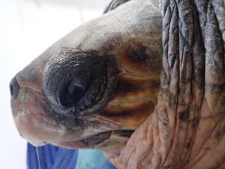 Salvataggio tartaruga che probabilmente porta uova