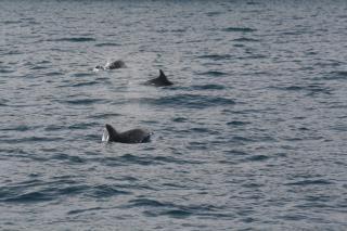 Delfini nelle acque del parco marino di Punta Campanella