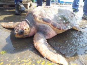 Tartaruga gigante recuperata nel Golfo di Salerno