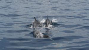 Delfini a Punta Campanella