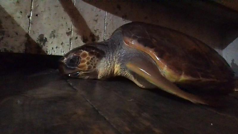 Tartaruga recuperata dal TartaNet di Punta Campanella