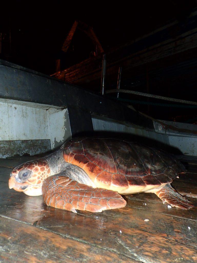 Caretta caretta recuperata nel golfo di Salerno