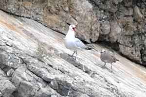 Il gabbiano corso nidifica a Punta Campanella